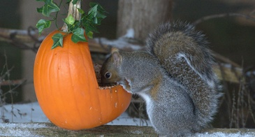squirrel eating out of pumpkin feeder