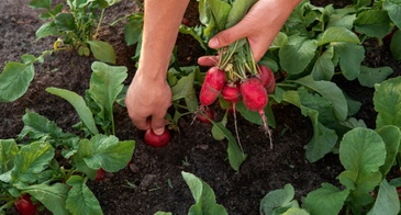 picking radishes from garden